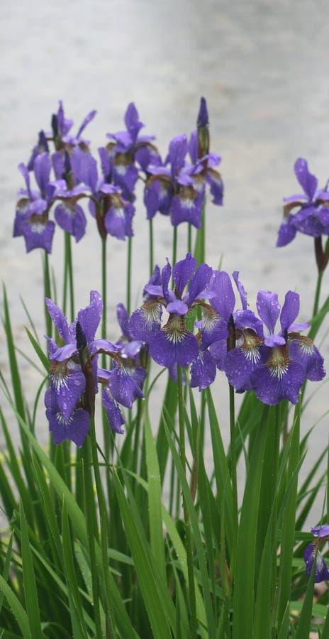 花虹膜公园紫罗兰 图库摄影