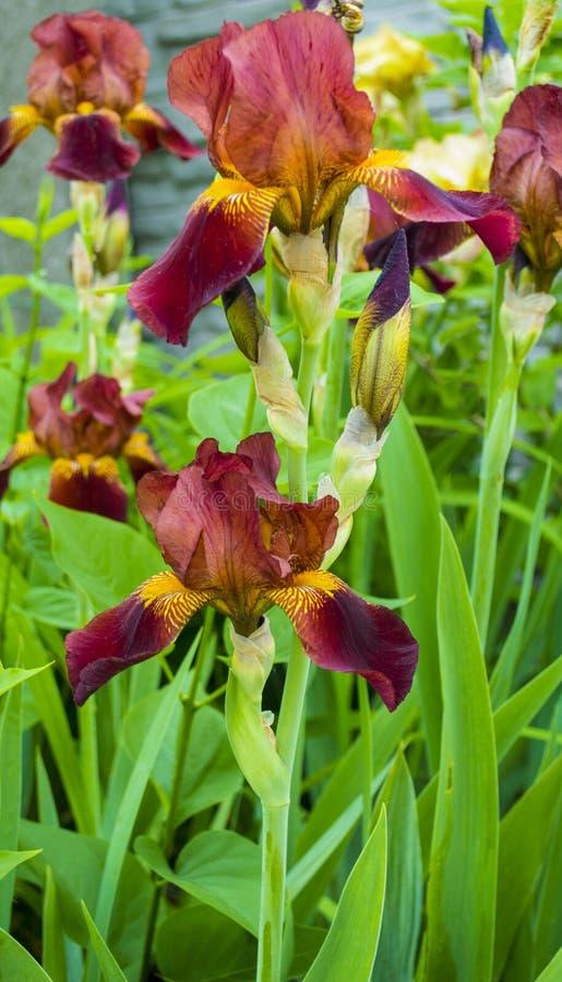 花虹膜 与五颜六色的花的美好的花卉背景…背景 免版税库存图片