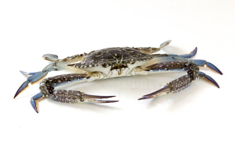 花螃蟹,青蟹,蓝色游泳者螃蟹Portunus pelagicus隔绝在白色背景 免版税图库摄影