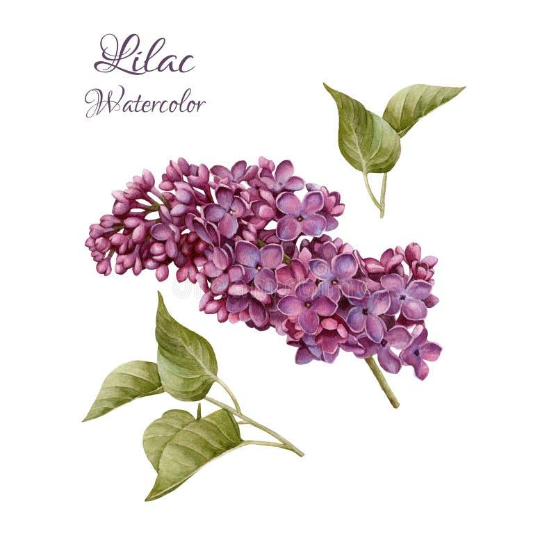 花被设置水彩丁香和叶子 库存例证