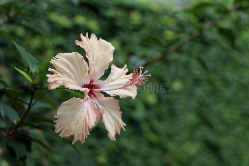 花装饰三文鱼颜色木槿 库存照片