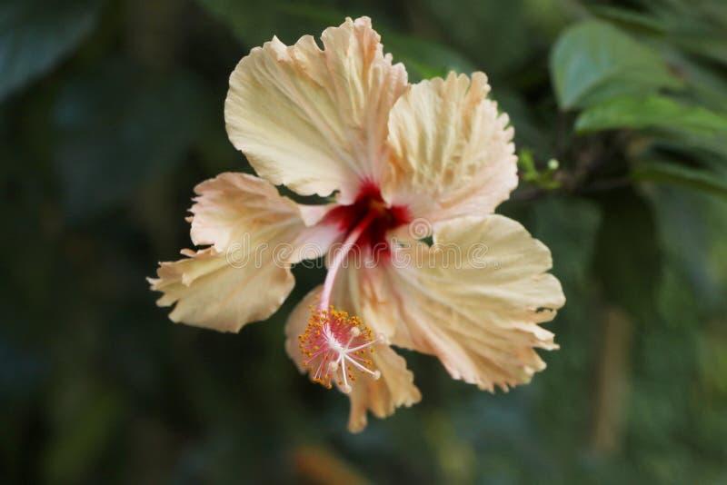 花装饰三文鱼颜色木槿 库存图片