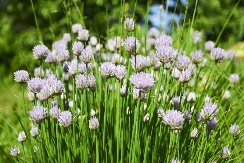 花装饰葱 紫罗兰色葱花特写镜头在夏天领域的 美丽的开花的葱 大蒜花 库存图片