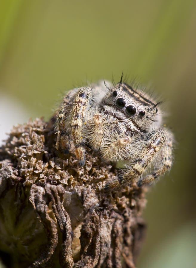 花跳的蜘蛛凋枯了 库存图片