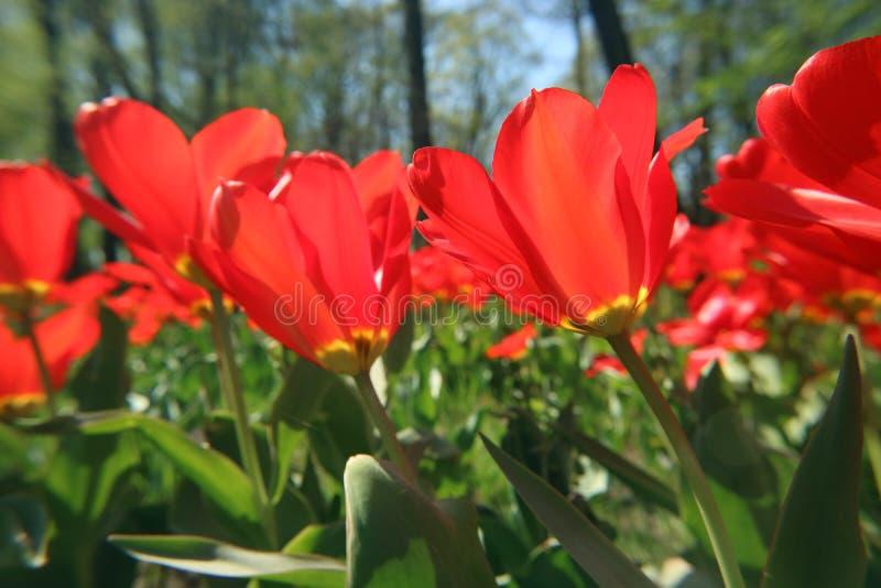 花郁金香在露天领域宏观图象下的庭院里作为背景 库存照片