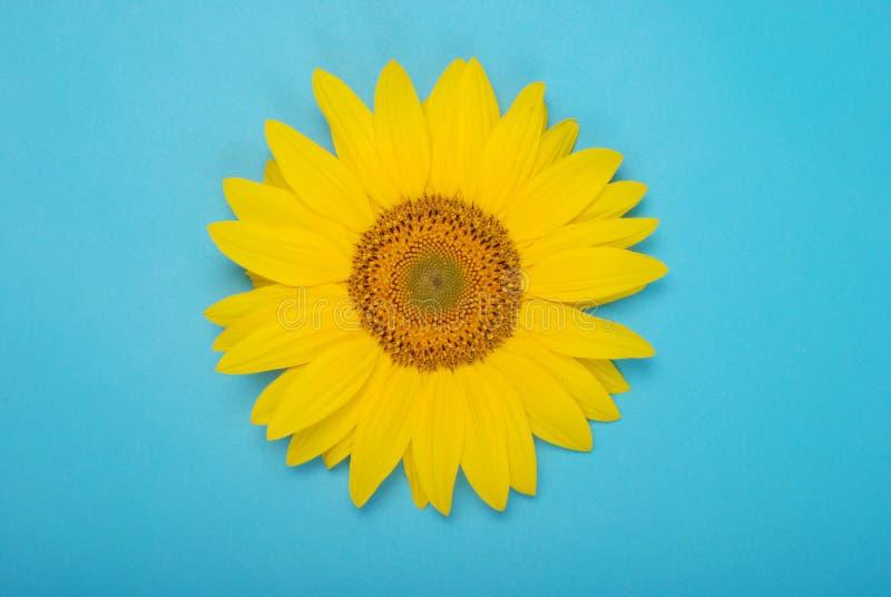 花隔离向日葵白色 免版税库存照片