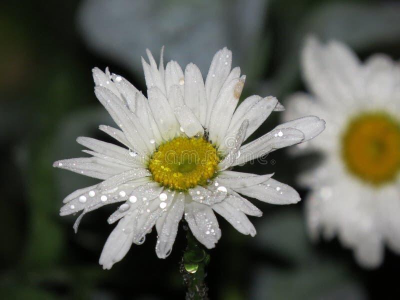 花雏菊与小滴的特写镜头宏指令雨水露珠 库存照片