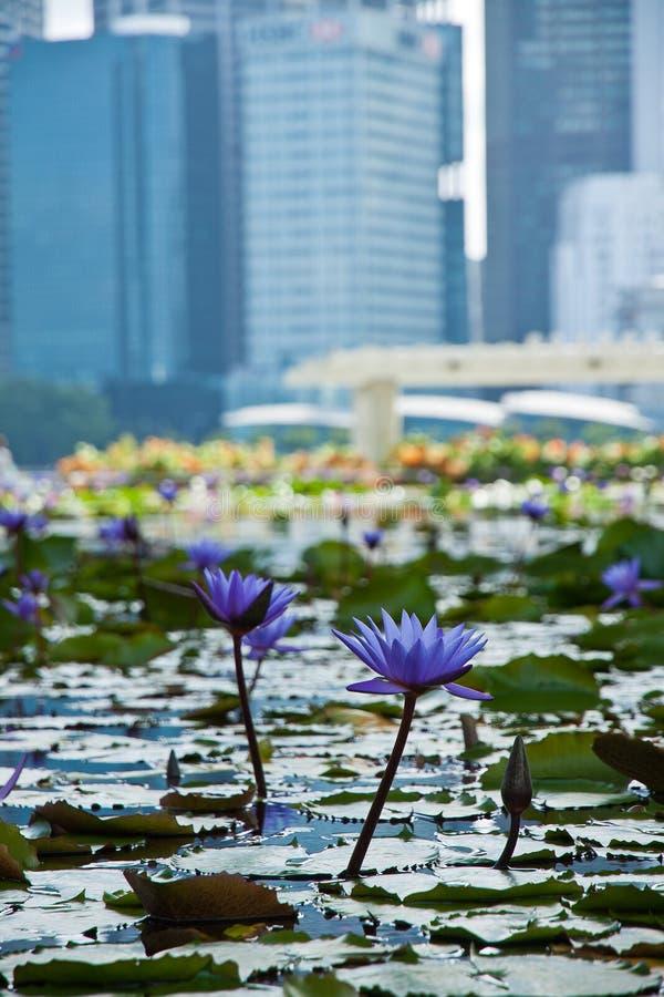 花风景看法喜欢荷花和商业区,新加坡市 图库摄影