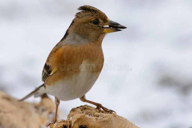 花鸡在冬天鸟饲养者的Fringilla montifringilla 库存图片