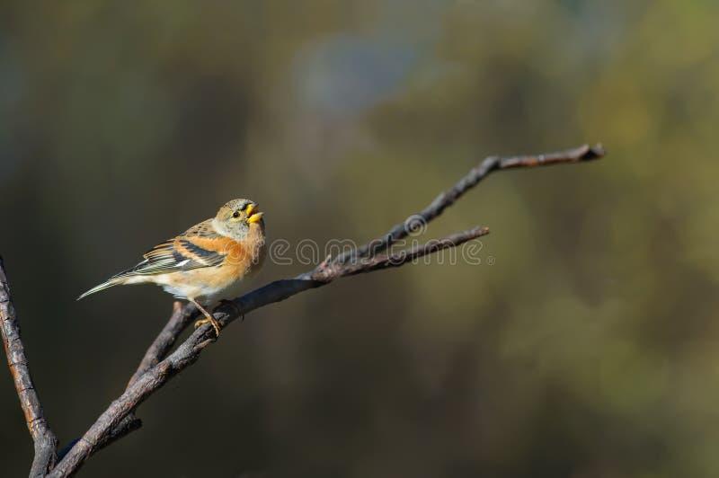 花鸡在分支时唱歌并且叫,当栖息 免版税库存照片