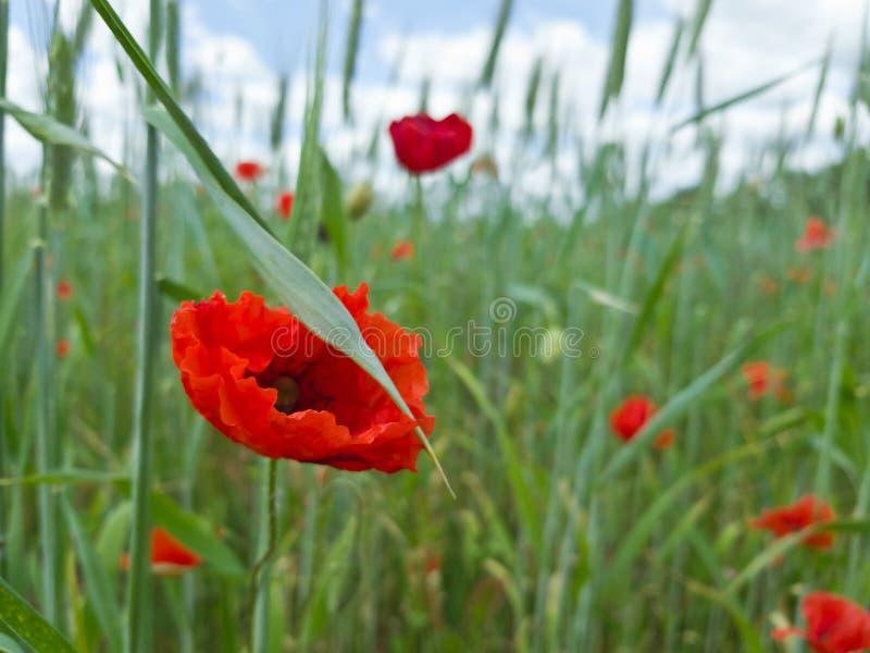 花鸦片领域在一个夏日 平静和宁静 选择聚焦 库存照片