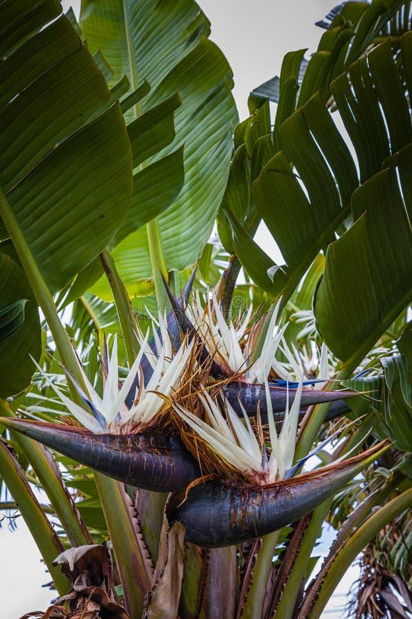 花鹤望兰尼古拉在圣地米格尔海岛,亚速尔群岛上的Nordeste 库存照片