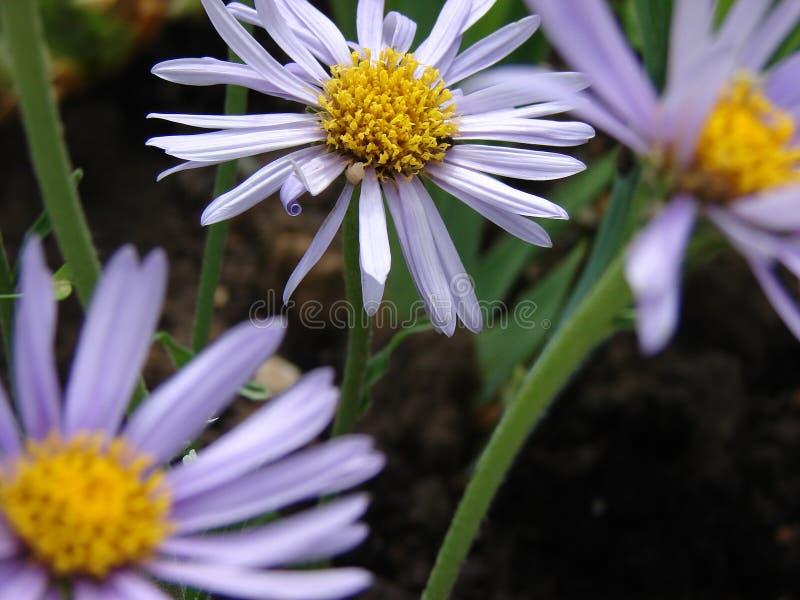 花,三朵花,紫色花 库存图片