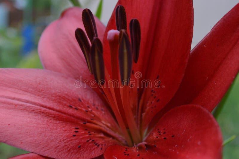 花,百合,红色花 库存图片