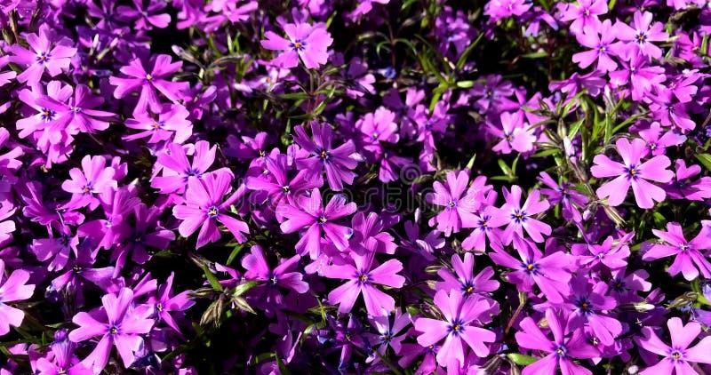 花,紫色,淡紫色,多年生植物,成群 库存照片