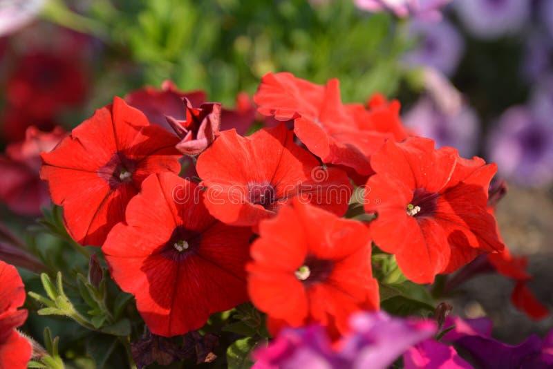 花,红色喇叭花 库存照片