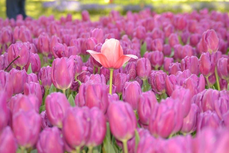 花,红色花,郁金香妇女 免版税图库摄影