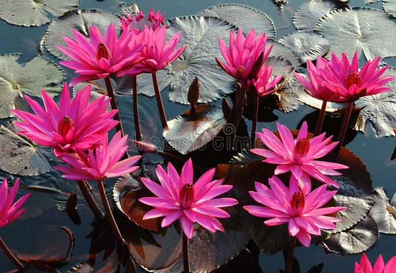 花,莲花, 库存图片