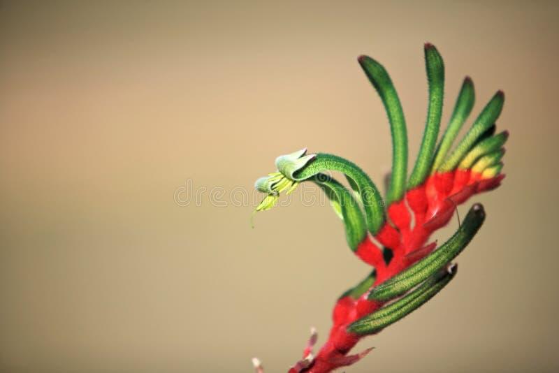 花,袋鼠爪子,澳大利亚 免版税库存图片
