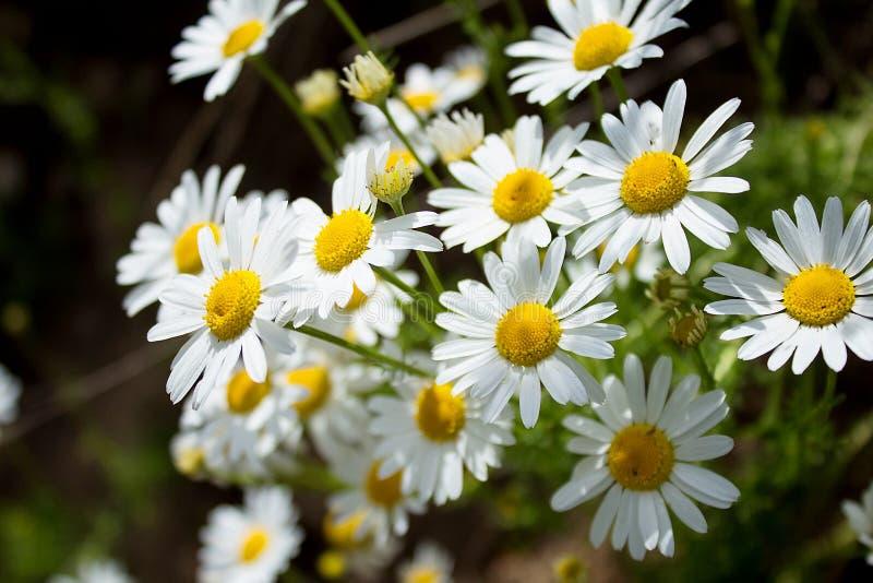 花,领域雏菊美丽的花束由太阳点燃了 免版税库存图片