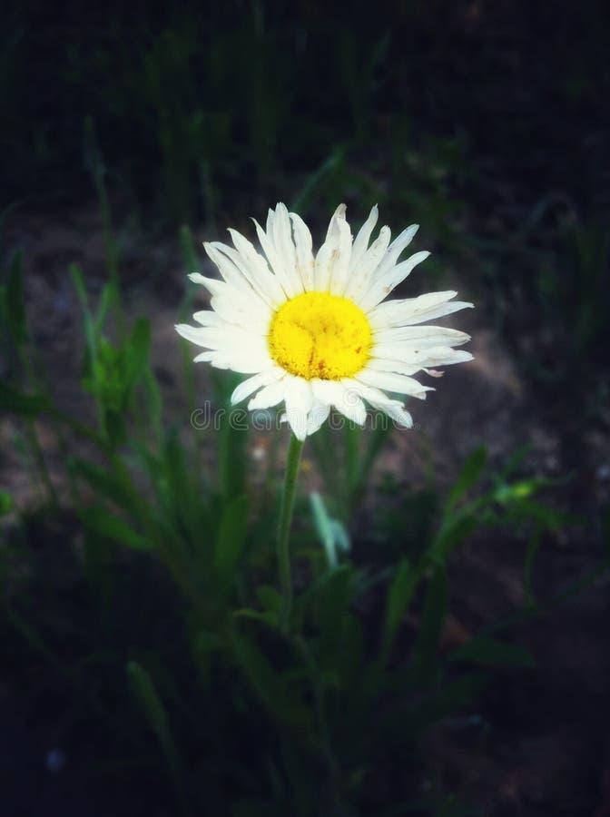 花,黄色围拢由白色瓣 野花在得克萨斯 库存照片