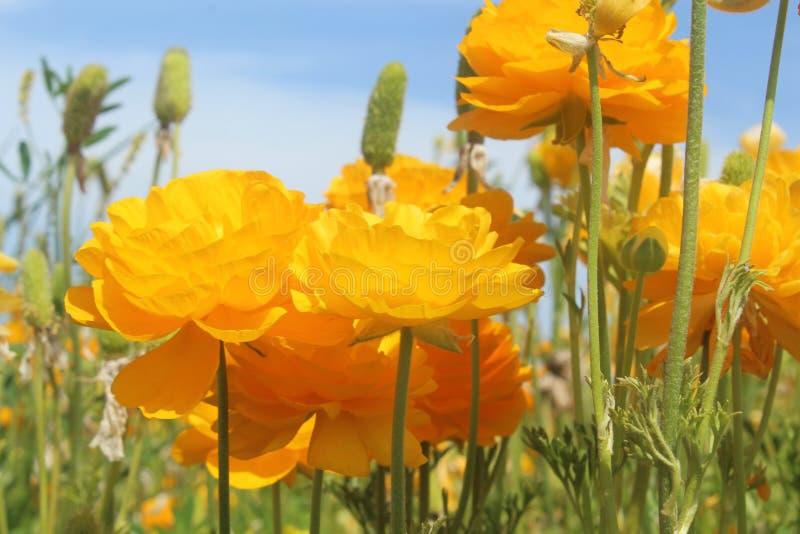 花,黄色花,花,卡尔斯巴德,加州的领域的微领域 免版税图库摄影