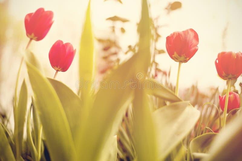 花 惊人的红色郁金香花&绿草背景 红色郁金香花 逗人喜爱的花 颜色郁金香花 色的花 库存图片