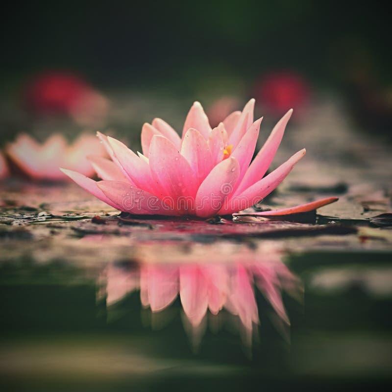 花 水表面上的美丽的开花的荷花 自然五颜六色的被弄脏的背景 星莲属 免版税库存照片