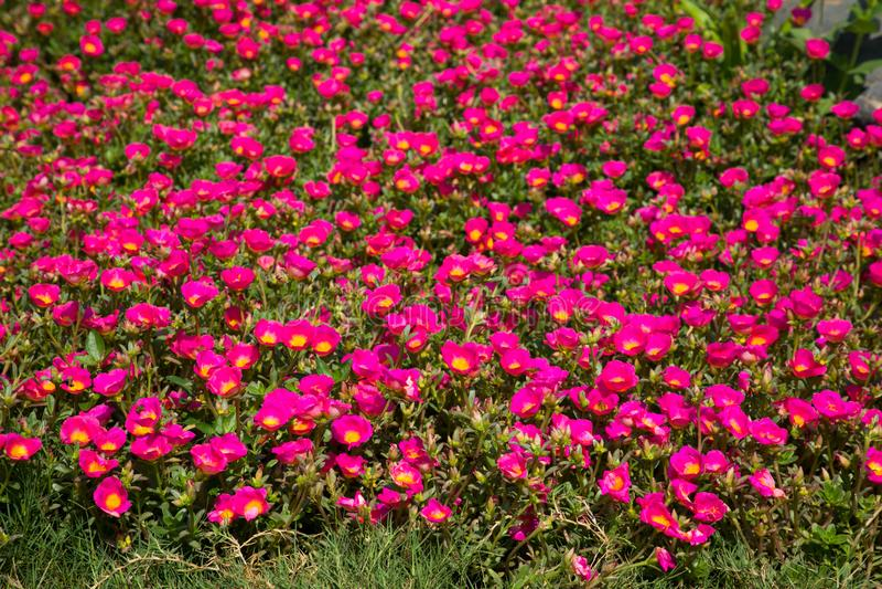 花Portulaca oleracea桃红色 免版税库存图片