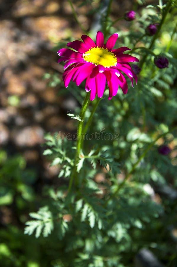 花Pyrеthrum roseum Tanacеtum coccineum 免版税库存照片