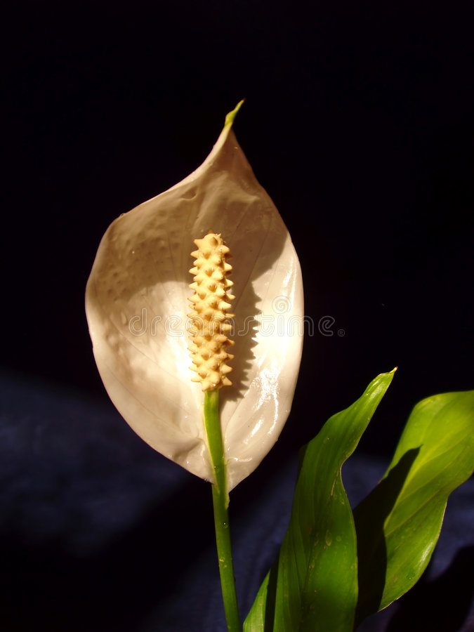 花spathiphyllum 免版税库存照片