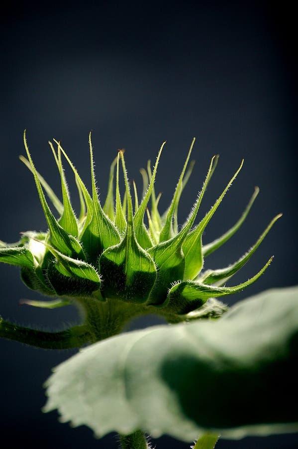 芽向日葵 库存图片
