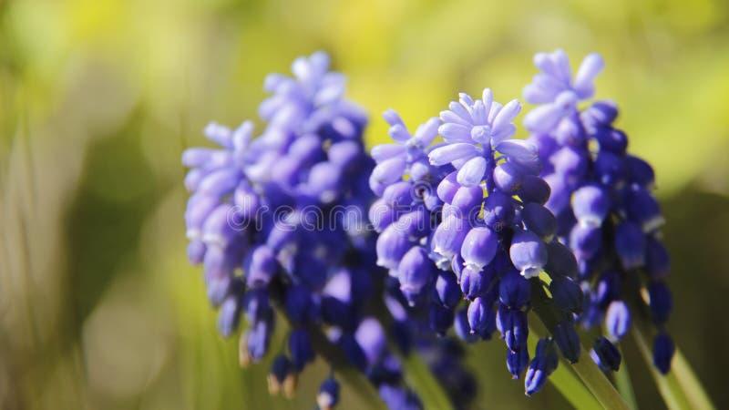 芽和绽放蓝色吊钟花有被弄脏的背景 图库摄影