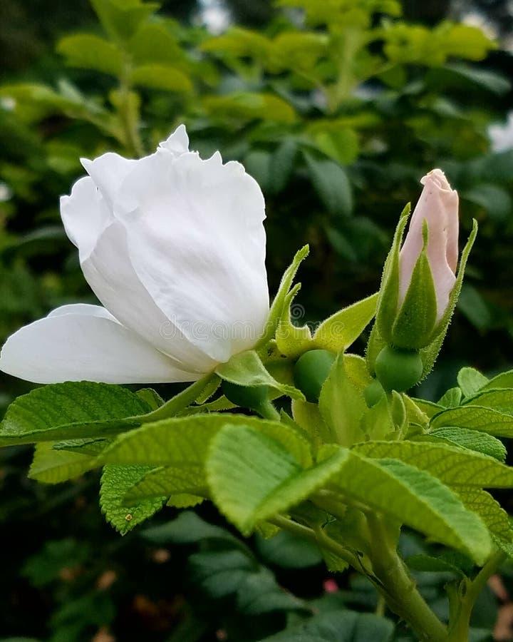 芽和绽放 免版税库存照片