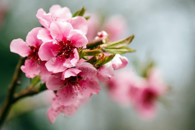 芽和花在日本樱桃树的分支 春天开花 自然宏指令 库存照片