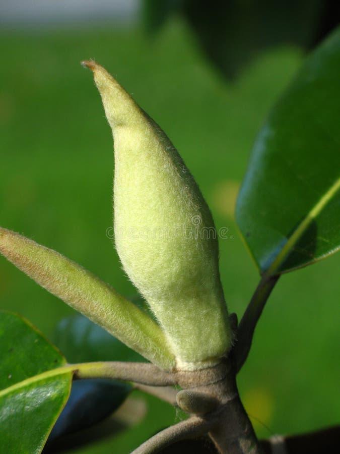 芽大花的木兰 免版税图库摄影