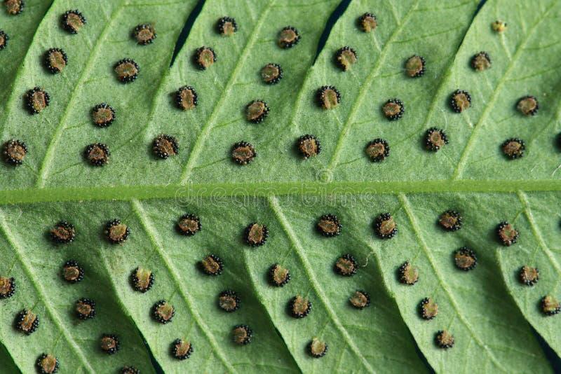 芽胞囊群纹理在蕨叶子的 库存照片