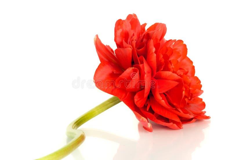 芽花查出的红色郁金香 免版税库存图片