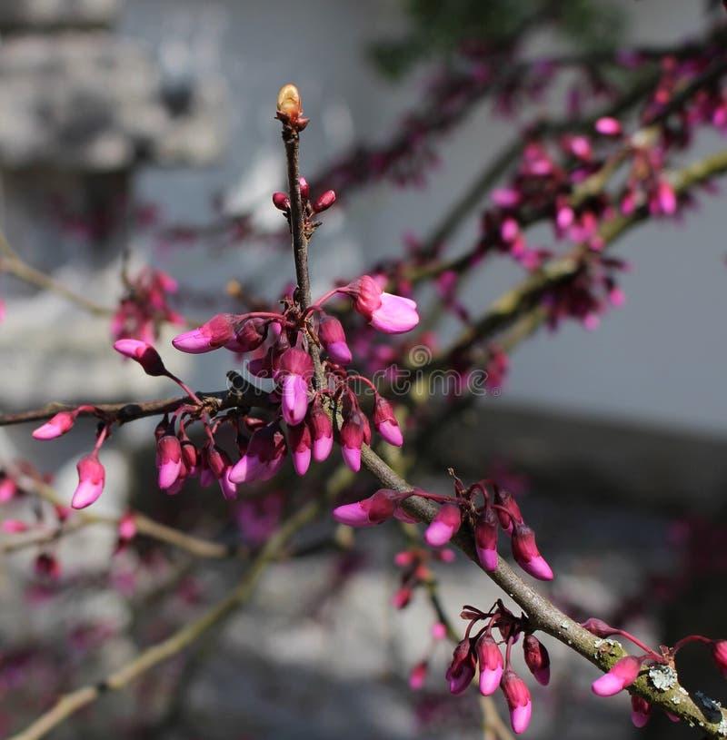 芽花粉红色 库存图片