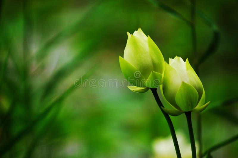 芽莲花孪生 库存图片