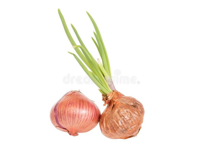 芽葱,隔绝在白色背景 免版税库存图片
