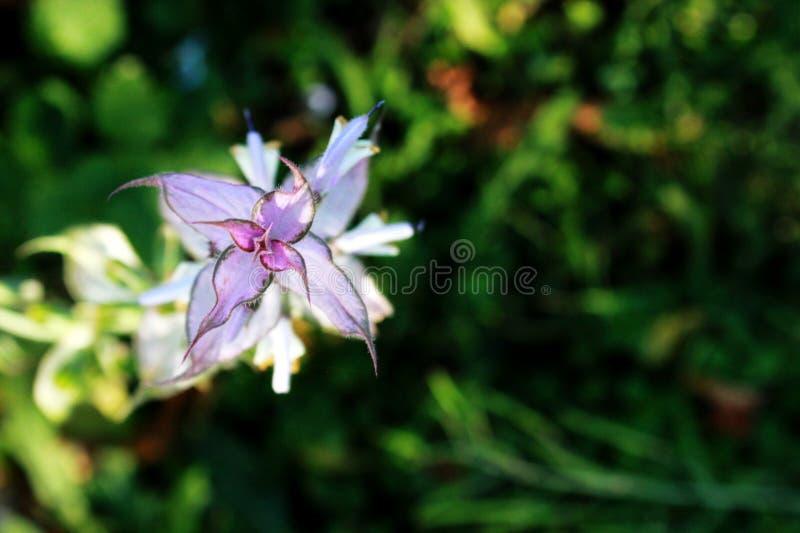 苍白淡紫色颜色贤哲与绿色叶子的花,分支和花在庭院里, 图库摄影