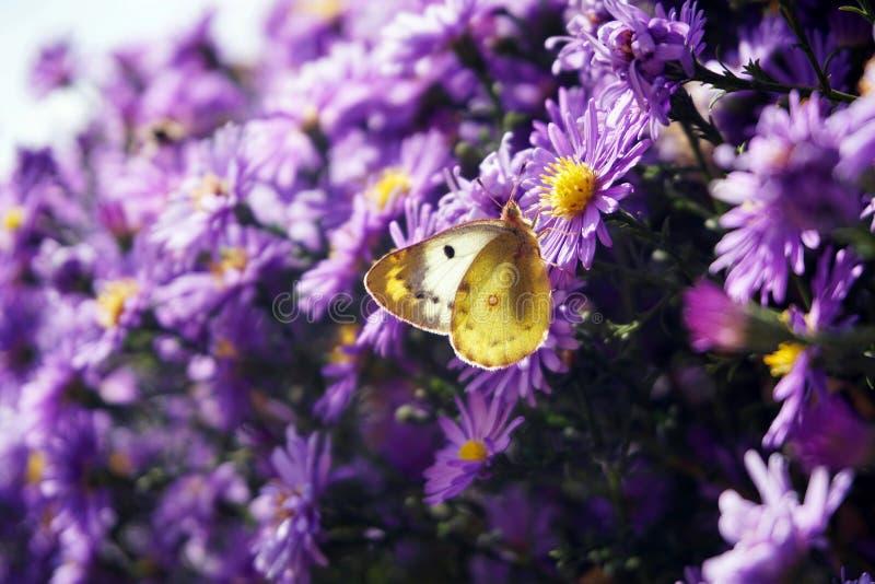 苍白被覆盖的黄色蝴蝶 图库摄影
