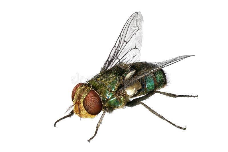 绿头苍蝇 图库摄影