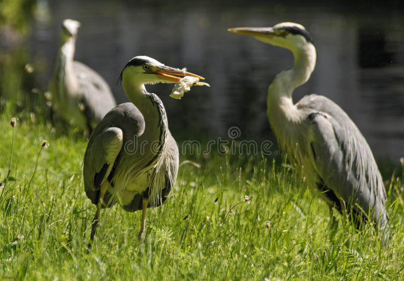 苍鹭午餐时间 库存照片