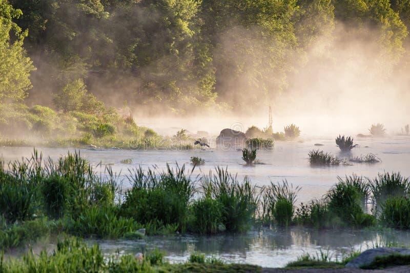 苍鹭在河的有薄雾的早晨 库存图片