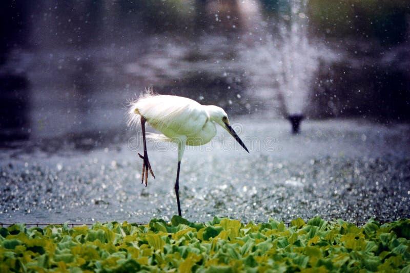 苍鹭查寻鱼在池塘 免版税库存图片