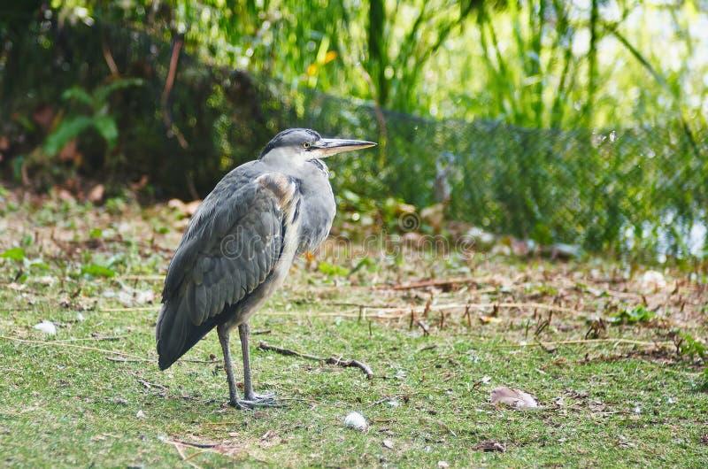 Download 苍鹭特写镜头画象 库存照片. 图片 包括有 蓝色, 沼泽, 自然, 动物区系, 敌意, 通配, 户外, 双翼飞机 - 62537816