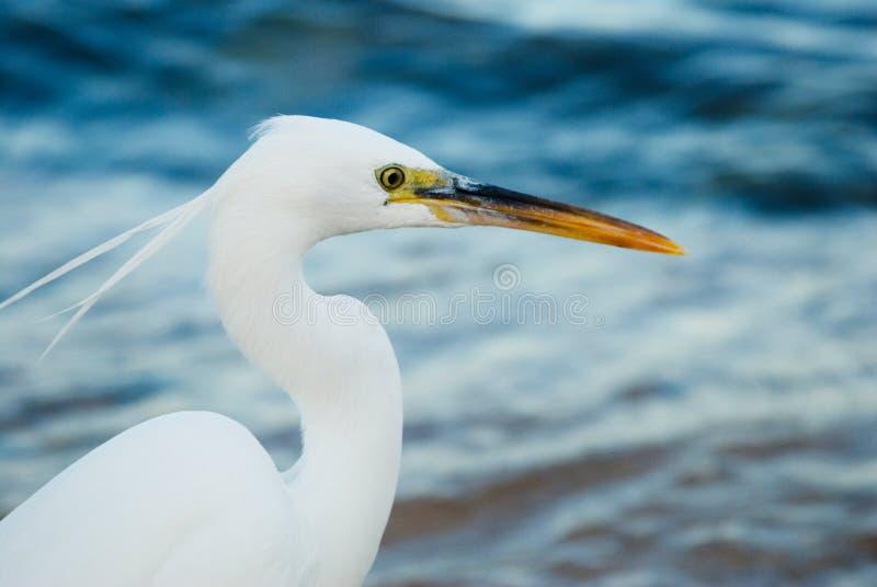 苍鹭白色 免版税库存图片