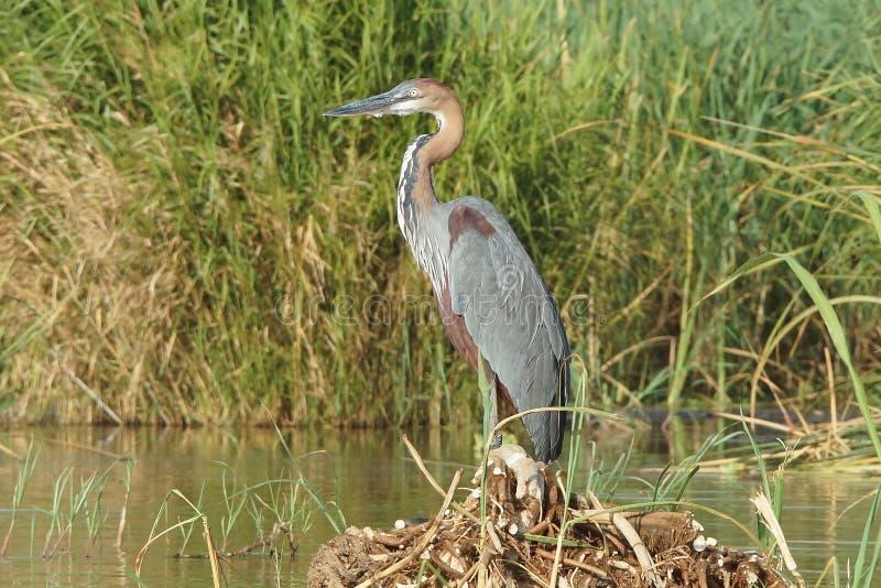 苍鹭,查莫湖,埃塞俄比亚,非洲 图库摄影